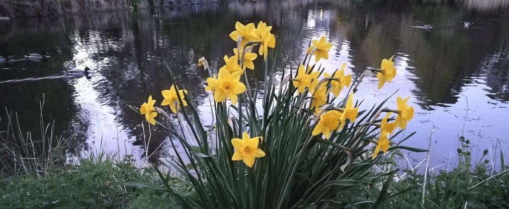 daffodils and ducks