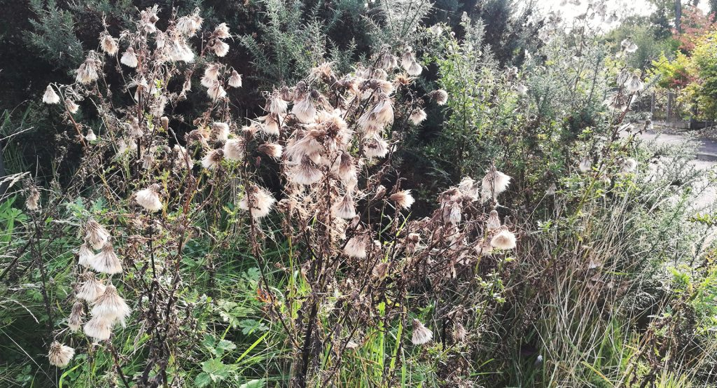dead thistles with live flora in background