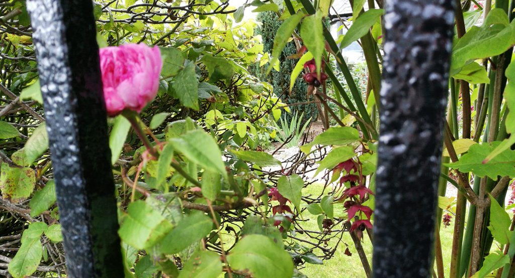 pink flower behind fence railings