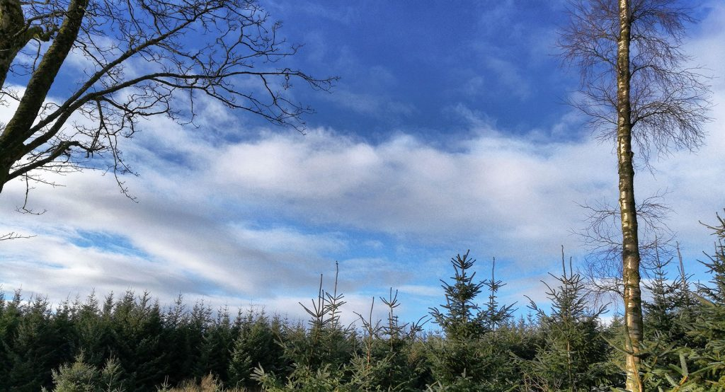 blue sky with white fluffy clouds and pine trees