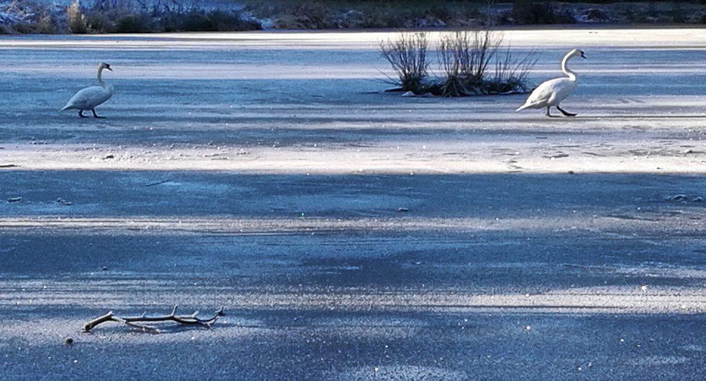 two swans walking on frozen loch