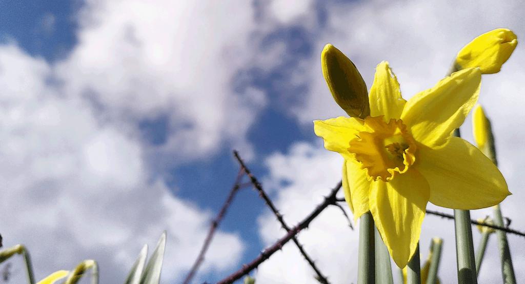 daffodil against a cloudy sky