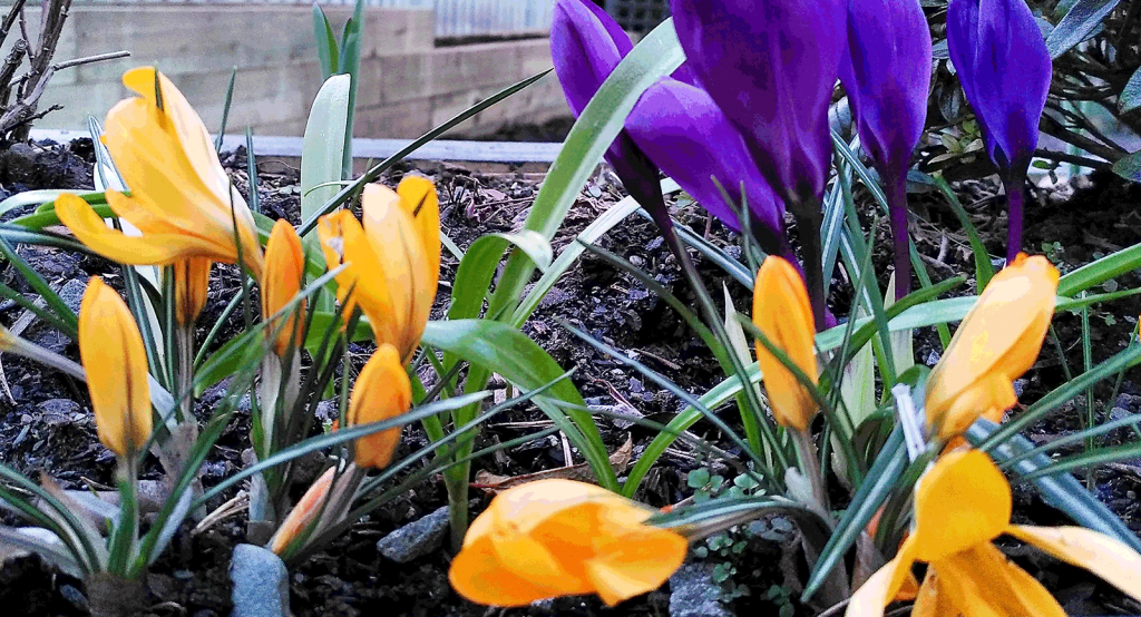 purple and orange flowers with green leaves in raised bed