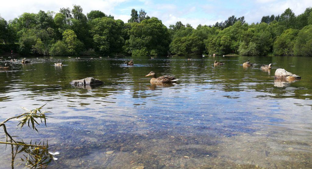 ducks swimming in loch