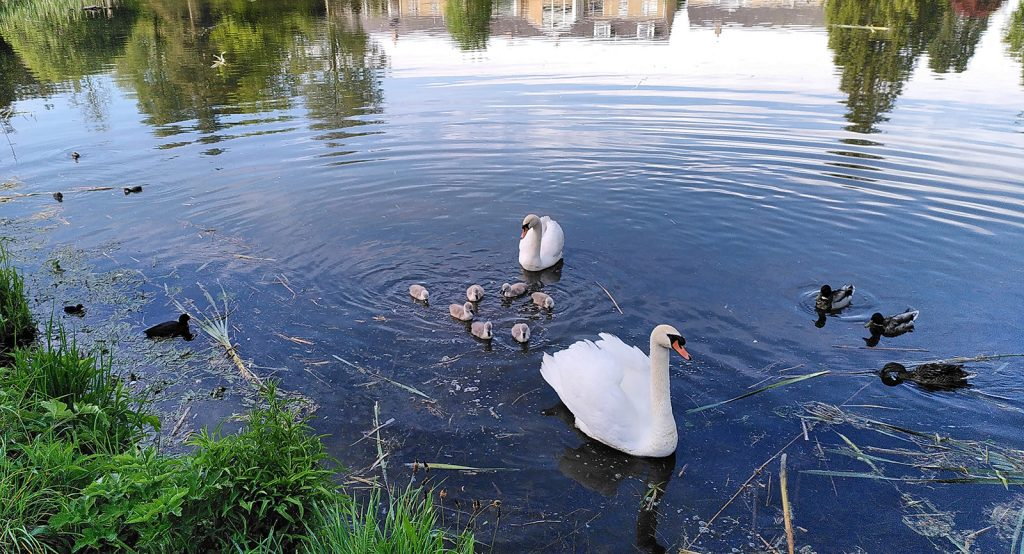 two swans with cygnets in wee loch