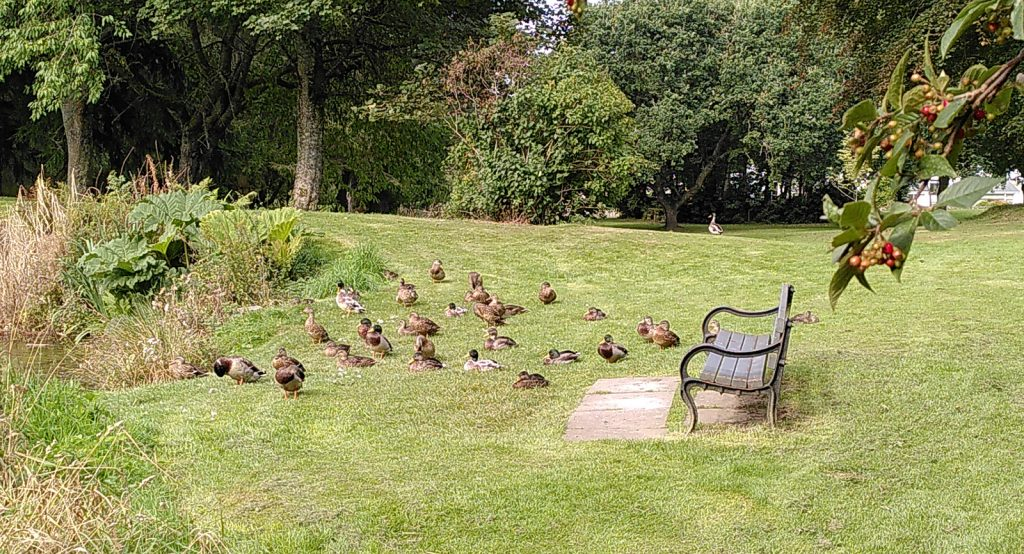 ducklings in front of park bench