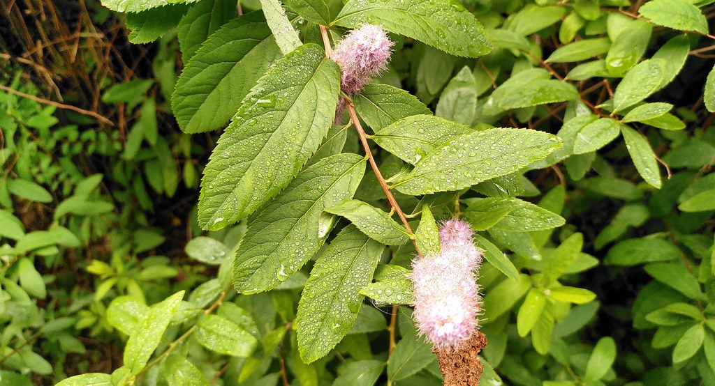 fluffy flower with rain-drenched leaves