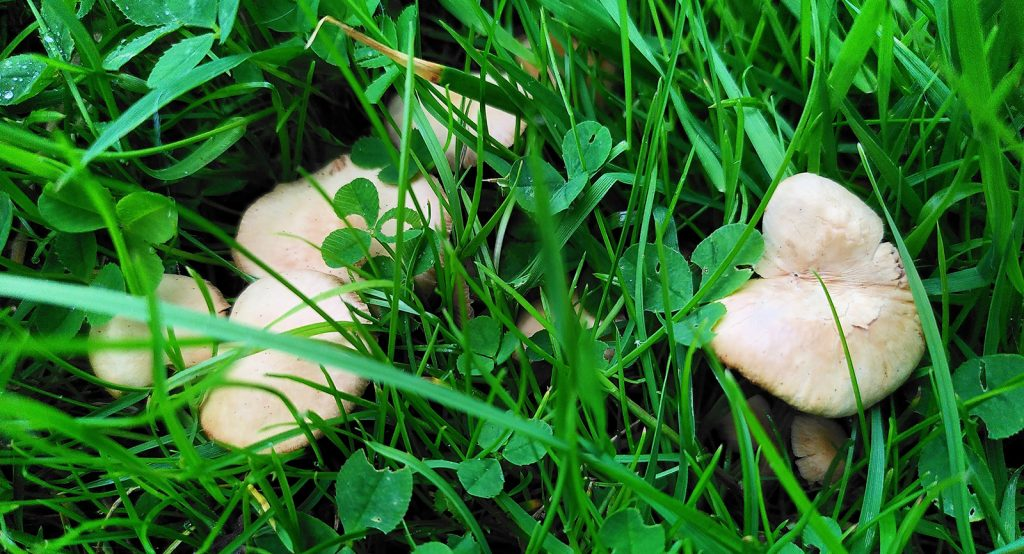 mushrooms hiding in grass