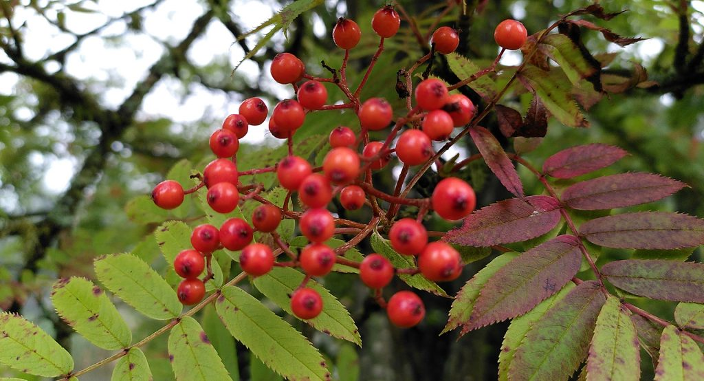 red berries on green and red leaves